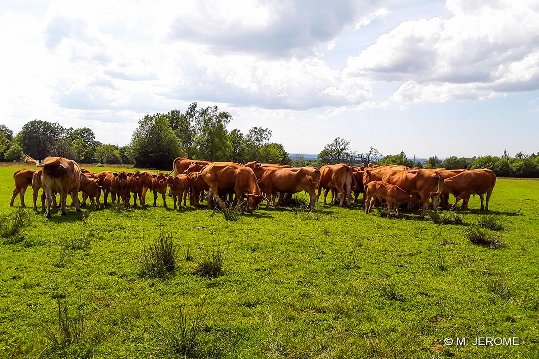 Vaches autour du gîte ...